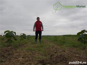 Infiintam plantatii de Paulownia Tomentosa - imagine 1