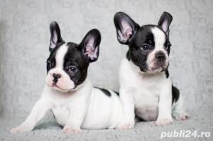 Bulldog Francez - genetic pur - negri, albi si maro - imagine 1