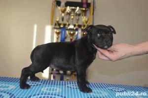 Staffordshire Bull Terrier - imagine 5