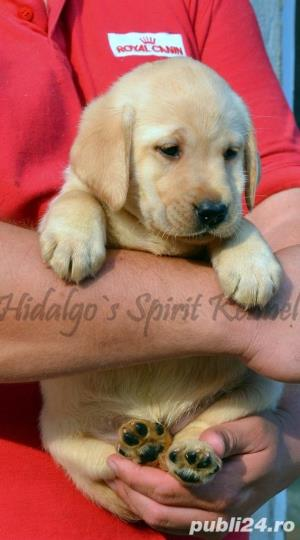Pui Labrador Retriever cu pedigree tip A - imagine 10