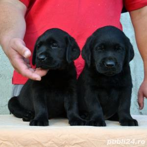 Pui Labrador Retriever cu pedigree tip A - imagine 9