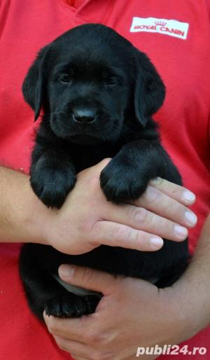 Pui Labrador Retriever cu pedigree tip A - imagine 11