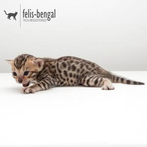 de vanzare pui pisica bengaleza/bengal cat - imagine 2