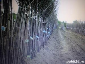 Vind pomi fructiferi 10LEIei-buc-neg- - imagine 2