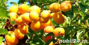 Vind pomi fructiferi 10LEIei-buc-neg- - imagine 1