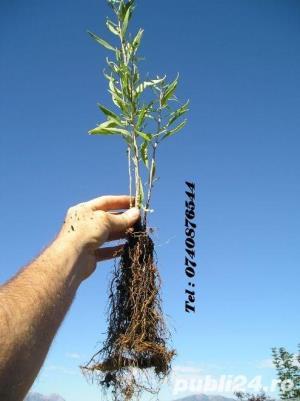 GOJI seminte si plante  - imagine 1