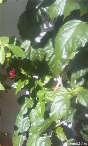 Flori (Trandafir Japonez, Arbore de cauciuc)  - imagine 6
