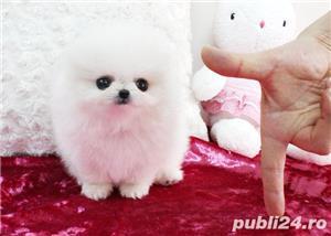 Catei Pomeranian rasa pura, talie mica, vaccinati cu garantie si livrare in Suceava - imagine 3