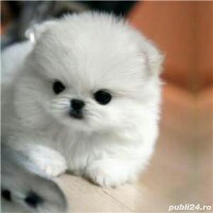 Vand pui Pomeranian boo toy superbi - imagine 1