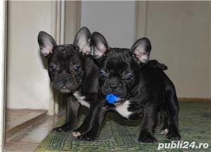 catelusi bulldog francez de 8 saptamani - imagine 1