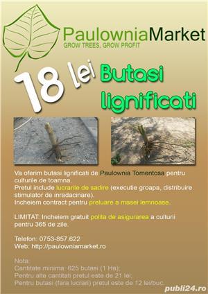Paulownia Tomentosa - butasi lignificati - imagine 7