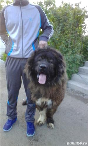 Mascul Ciobanesc Caucazian pentru paza - imagine 1
