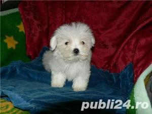 catei bichon maltese , rasa pura - imagine 1