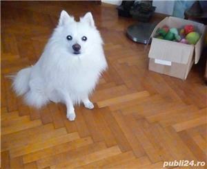 Monta Pomeranian - imagine 3