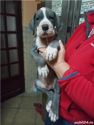DOG GERMAN   cu pedigree - imagine 6