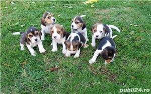 Pui beagle - imagine 1