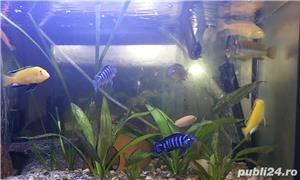 Vand ciclide, acvarii, filtru extern si intern - imagine 6