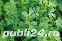Se vinde lucerna (seminte)  - imagine 2