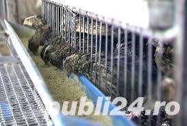 Cusca de prepelite ouatoare 90 cm/50 prtepelite - imagine 1