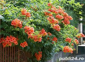 Luleaua turcului (Campsis radicans) - imagine 2
