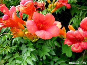 Luleaua turcului (Campsis radicans) - imagine 1