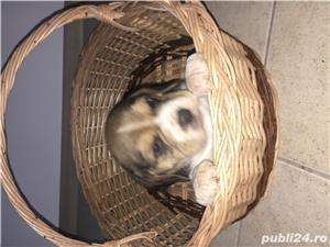 De vanzare pui de Beagle  - imagine 4