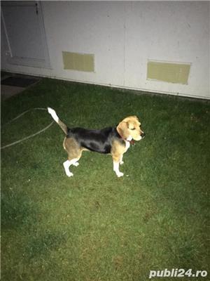 De vanzare pui de Beagle  - imagine 3