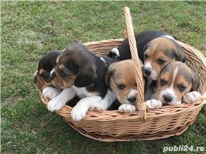 De vanzare pui de Beagle  - imagine 7