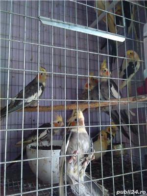 vand papagali nimfa - imagine 2