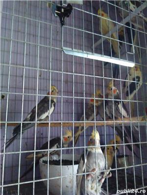 vand papagali nimfa - imagine 3
