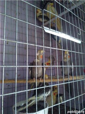 vand papagali nimfa - imagine 4