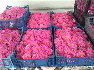 Vindem butasi trandafiri - imagine 5