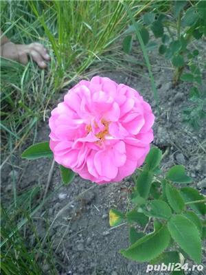 Vindem butasi trandafiri - imagine 4