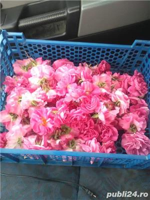 Vindem butasi trandafiri - imagine 1