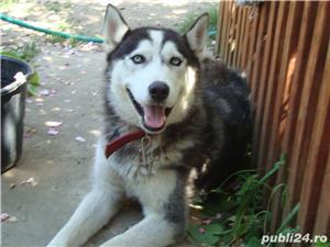 Pui superbi de Husky siberian.,  - imagine 11