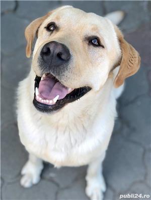 Labrador mascul pentru imperechere - imagine 2