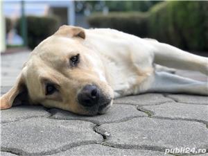 Labrador mascul pentru imperechere - imagine 3