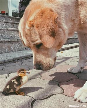 Labrador mascul pentru imperechere - imagine 4