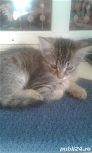 Schimb motanel norvegian de padure cu pisica sphynx  - imagine 2