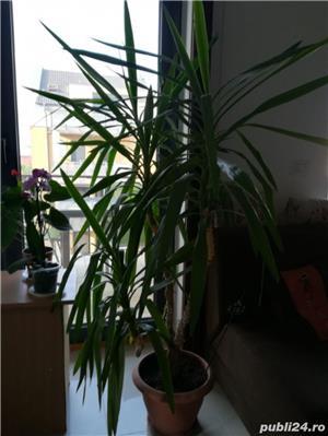 Vand planta ornamentala casa Yucca - imagine 1