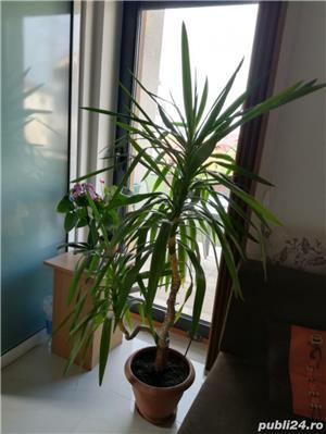 Vand planta ornamentala casa Yucca - imagine 2