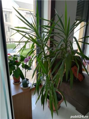Vand planta ornamentala casa Yucca - imagine 3