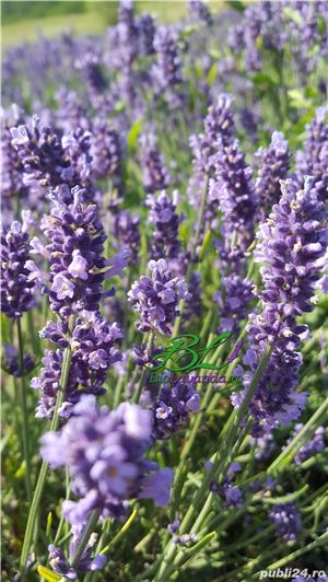 Lavanda Bluescent - promotie de toamna - imagine 4