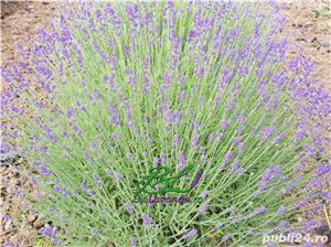 Lavanda Bluescent - promotie de toamna - imagine 2