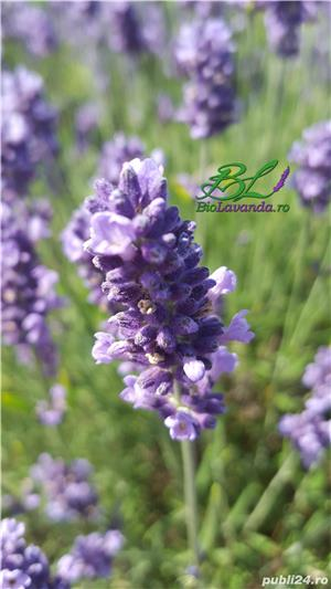 Lavanda Bluescent - promotie de toamna - imagine 3