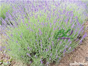 Lavanda Bluescent - promotie de toamna - imagine 1