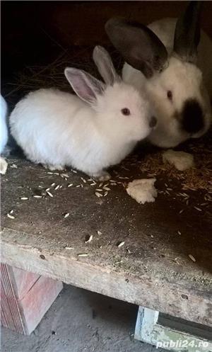 Vand iepuri din rasa california-californian!! - imagine 1