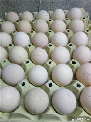 """oua''La Bresse""""-caviarul gainilor - imagine 9"""