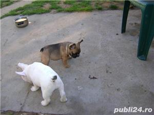 Pui femele si masculi de bulldog-buldog francez - imagine 7