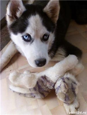 Pui superbi de Husky siberian.,  - imagine 5